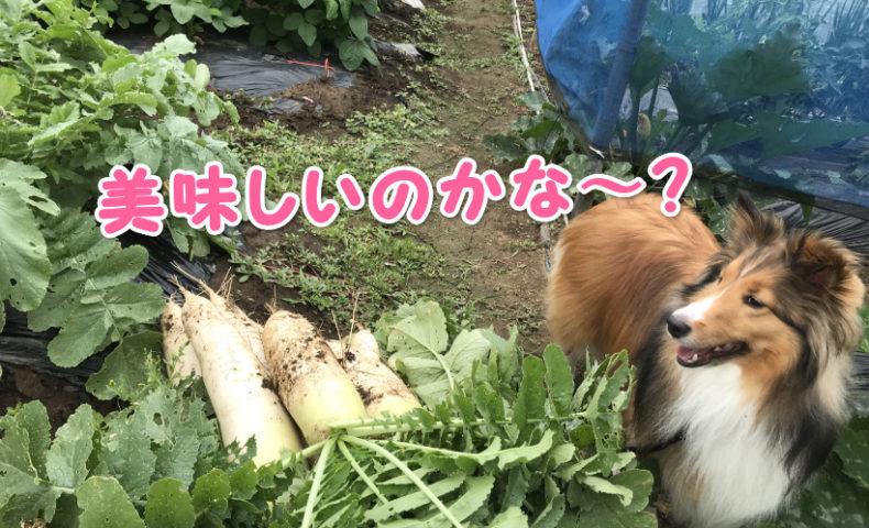 シェルティ犬の画像