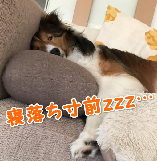 シェルティ 昼寝